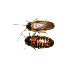 Dubia Cockroaches