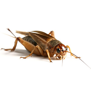 Adult Silent Brown Crickets (25-30mm)