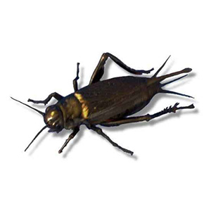 Adult Black Crickets (20-25mm)