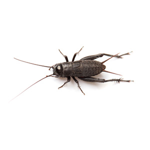 Hatchling Black Crickets (2-4mm)