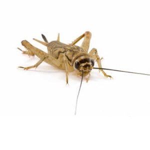 Hatchling Silent Brown Crickets 2-3mm