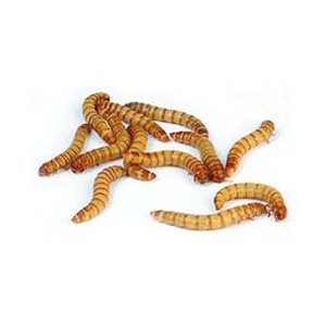 Regular Mealworms