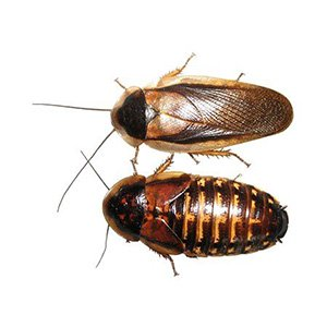 Dubia Cockroaches Adult/Sub-Adult